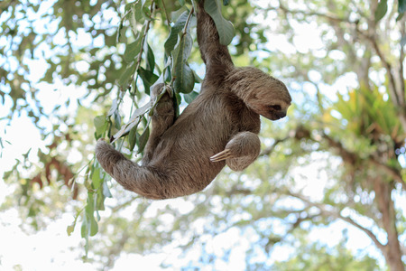 oso perezoso: La pereza que suben el �rbol en la reserva natural en Brasil