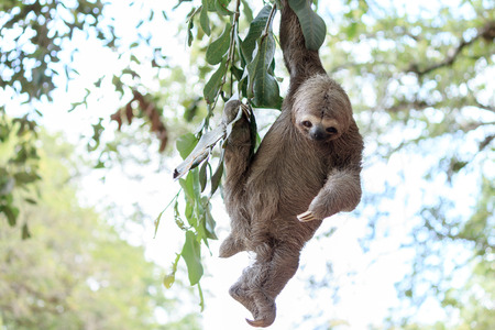 brown throated: Sloth climbing tree in nature reserve in Brazil