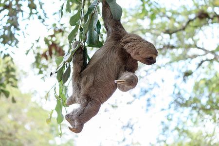 oso perezoso: La pereza que suben el árbol en la reserva natural en Brasil