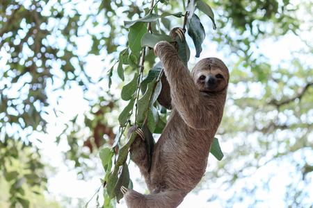 브라질의 자연 보호구에서 나무 늘보 등산 스톡 콘텐츠