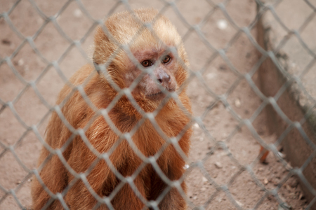 cage gorilla: Little monkey in zoo cage with sad expression Stock Photo