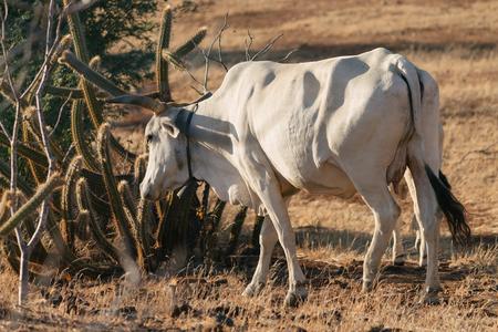 intend: Cow grazing in the Caatinga - semiarid area in Brazil Stock Photo