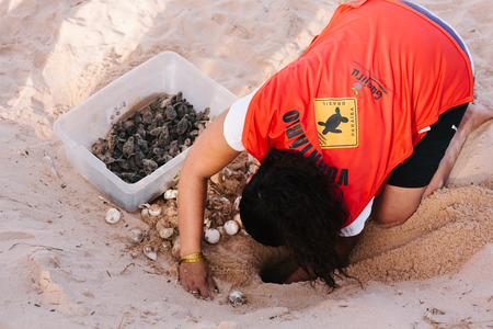 Cabedelo, Paraiba, Brazil - May 15, 2017 - Hawksbill sea turtle hatchlings being released to sea by a volunteer of a turtle conservation program - NGO Guajiru Editorial