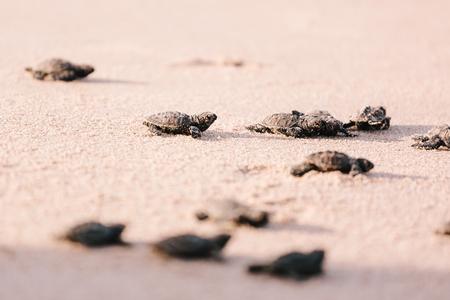 바다쪽으로 새롭게 부화 한 아기 거북이 스톡 콘텐츠