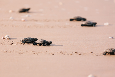 Newly hatched baby turtle toward the ocean Stock Photo