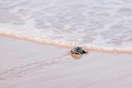 Newly hatched baby turtle toward the ocean Reklamní fotografie