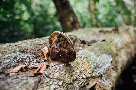 Mushroom on fallen tree trunk in the forest.