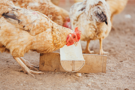 Eating chickens at the domestic range Stock Photo