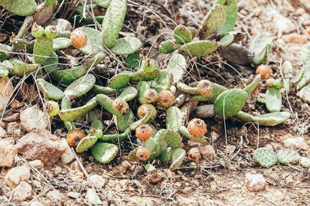 Forage cactus known as palma forrageira in the region of the caatinga biome in Brazil 스톡 콘텐츠