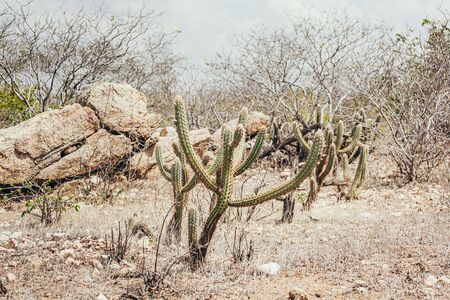 Landscape of the Caatinga in Brazil. Cactus known as xique-xique