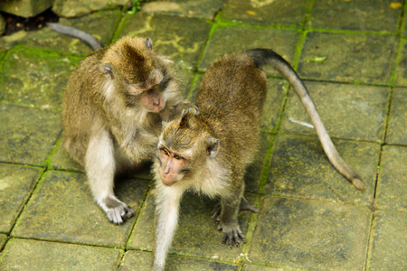 Cute macaques monkey family playing in the rain forest tropical jungle in East Asia looking for food