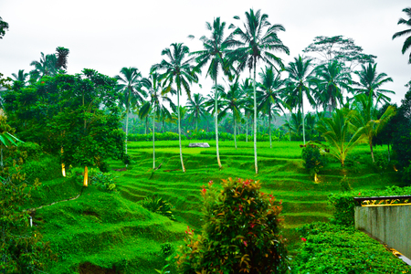 Gorgeous romantic view of rice terrace and coconut palm trees in the fresh air morning for family children school holiday retreat and honeymoon vacation in South East Asia