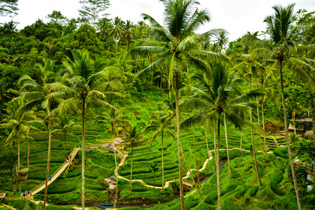 Gorgeous green romantic view of rice terrace field with tall coconut palm trees for children school holiday adventure and honeymoon vacation in South East Asia