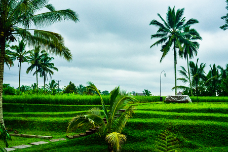 Romantic view of rice terrace field with tall coconut palm trees for children school holiday adventure and honeymoon vacation in South East Asia