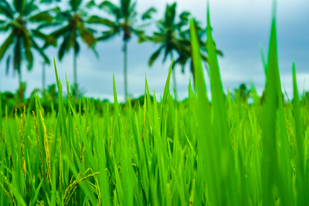 Romantic view of stairway to heaven rice terrace field with tall coconut palm trees for children school holiday adventure and honeymoon vacation in South East Asia Stock Photo