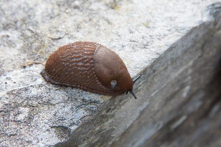 mottling: limacidae crawling on the stone Stock Photo