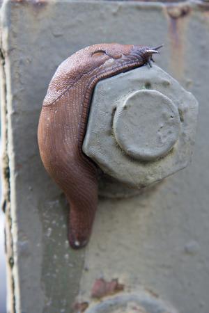 mottling: limacidae crawling on iron bolt Stock Photo