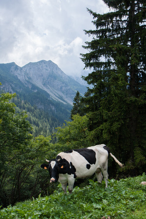 black and white spotted cow in mountain pasture photo