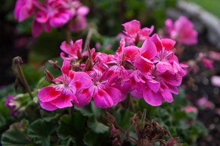 viewfinderchallenge3: close-up of a stalk of purple geraniums flecked