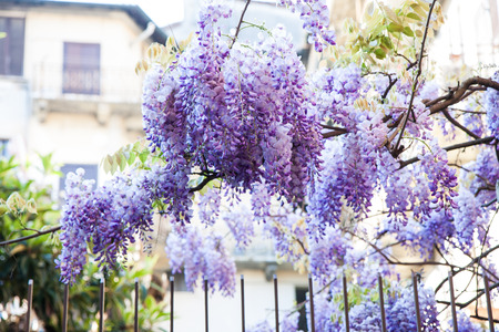wisteria plant on the old iron fence