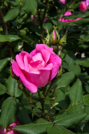 rose bush: close-up of rose bush, buds and leaves of a rose garden