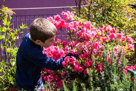 azaleas: child cleans bush of pink azaleas on the terrace Stock Photo
