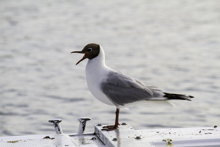 portrait of seagull on a boat in the Adriatic sea