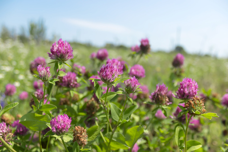 trifolium: Red clover flowers field Stock Photo