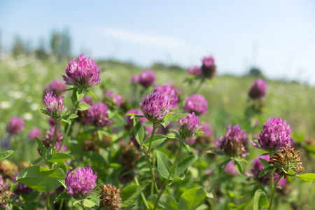 red clover: Red clover flowers field Stock Photo