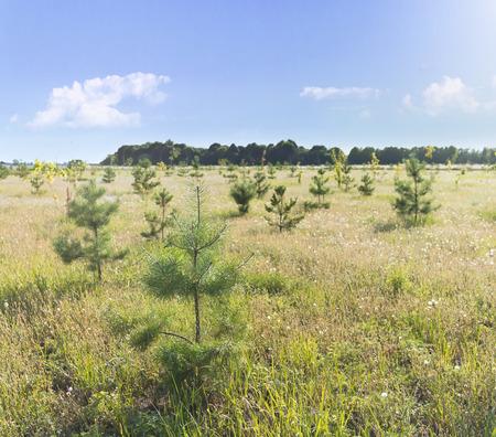 백그라운드에서 cloudscape와 필드에 젊은 소나무 묘 스톡 콘텐츠