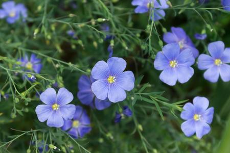 夏に青い亜麻の花を咲く