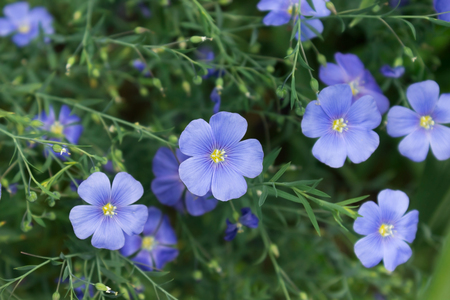 Blooming blue flax flowers in the summer Stock Photo