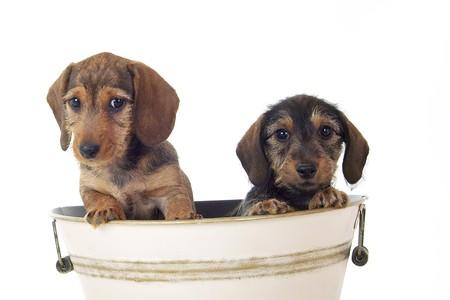 sweetly: Dachshund puppy