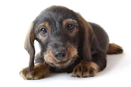 tete chien: Teckel puppy