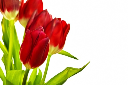 red tulips befor white