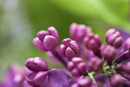 blumen: Fliederstrau� in einer wei�en Vase Stock Photo