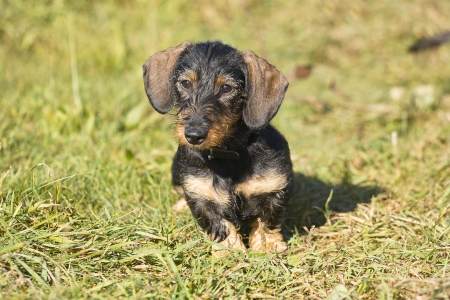 midget: Young midget wire-haired dachshund sits on a meadow  The animal looks carefully in the camera  Stock Photo