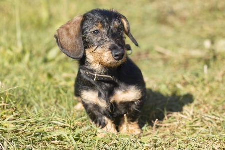 carefully: Young midget wire-haired dachshund sits on a meadow  The animal looks carefully in the camera  Stock Photo