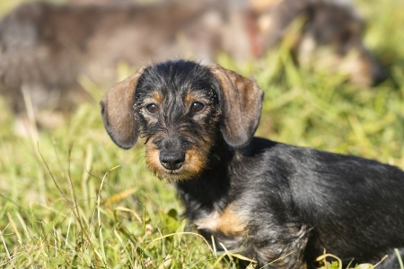 Young midget wire-haired dachshund sits on a meadow  The animal looks carefully in the camera  Stock Photo
