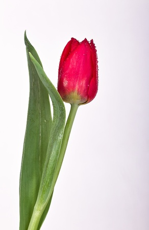 free plate: Red tulip before white background