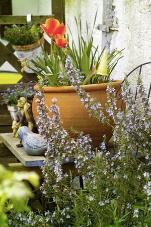 flowering rosemary Stock Photo