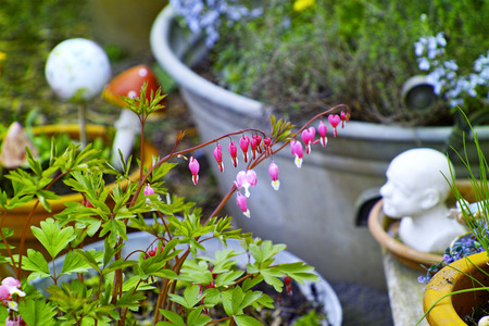 Bleeding heart in the garden Stock Photo