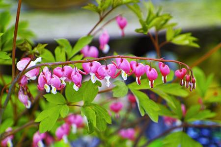 pflanze: Traenendes Herz in voller Blüte im Garten