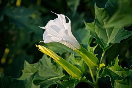 Datura blossom