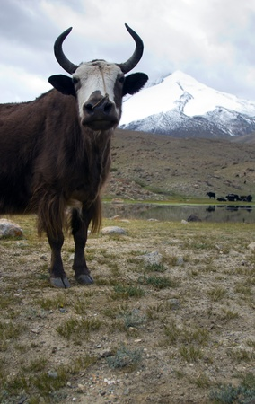 Big Yak located in front of big white mountain in Indian Himalaya  Stock Photo