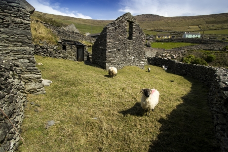 Old Sheep pasture located inside Dingle Peninsula coastal route with sheeps inside, Ireland photo