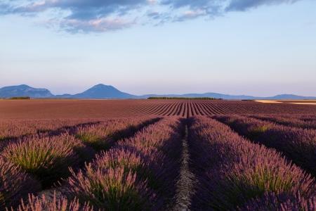 lavande: Pink fields of Lavender, Provansa in France