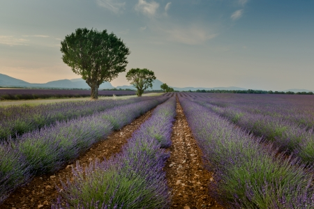 Iconic picture of Provence lavender fields, with trees which are formin a line photo