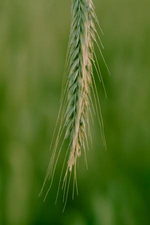 Close up  macro  of a wheat ear