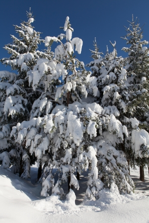Spruces in snow Stock Photo